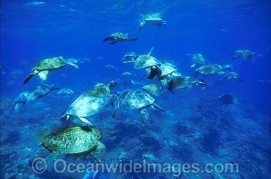 green-sea-turtle-24M2255-43